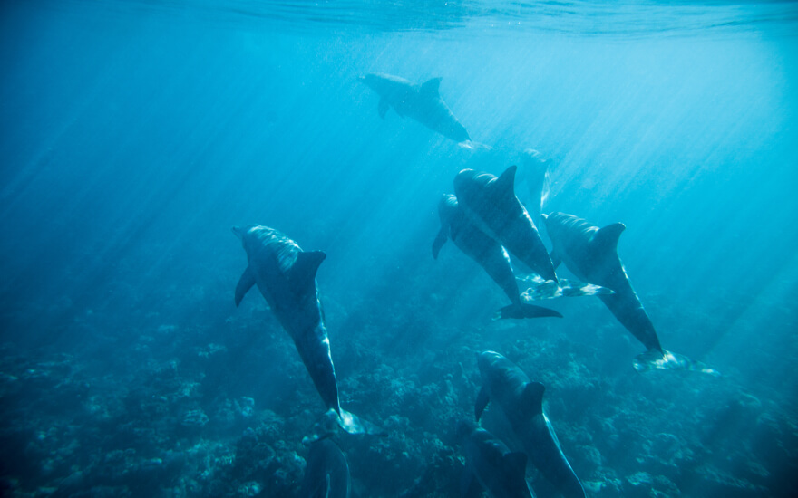 dolphins waianae